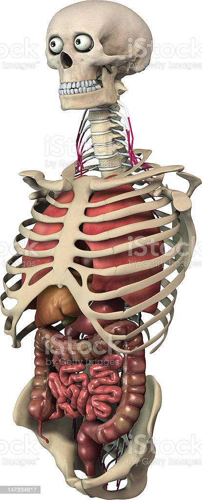 3d skeleton and organs royalty-free stock photo