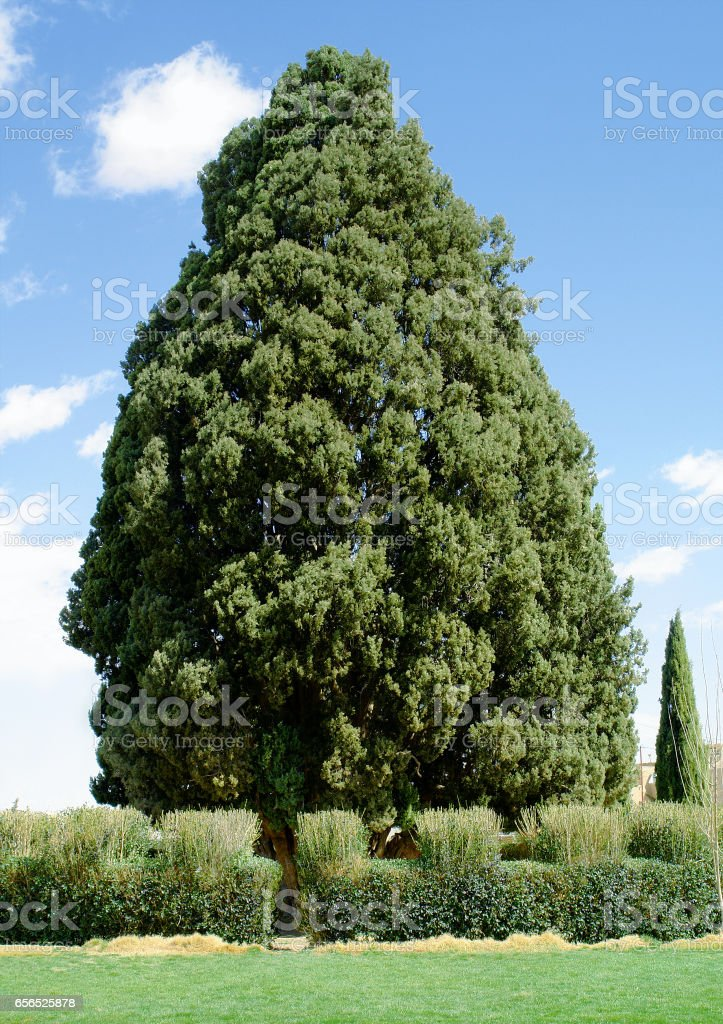 4000-year-old cedar Abarkuh in Yazd, Iran stock photo