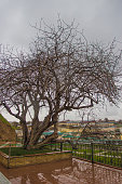 500-year-old pistachio tree near tomb of prophet Daniel or Holy