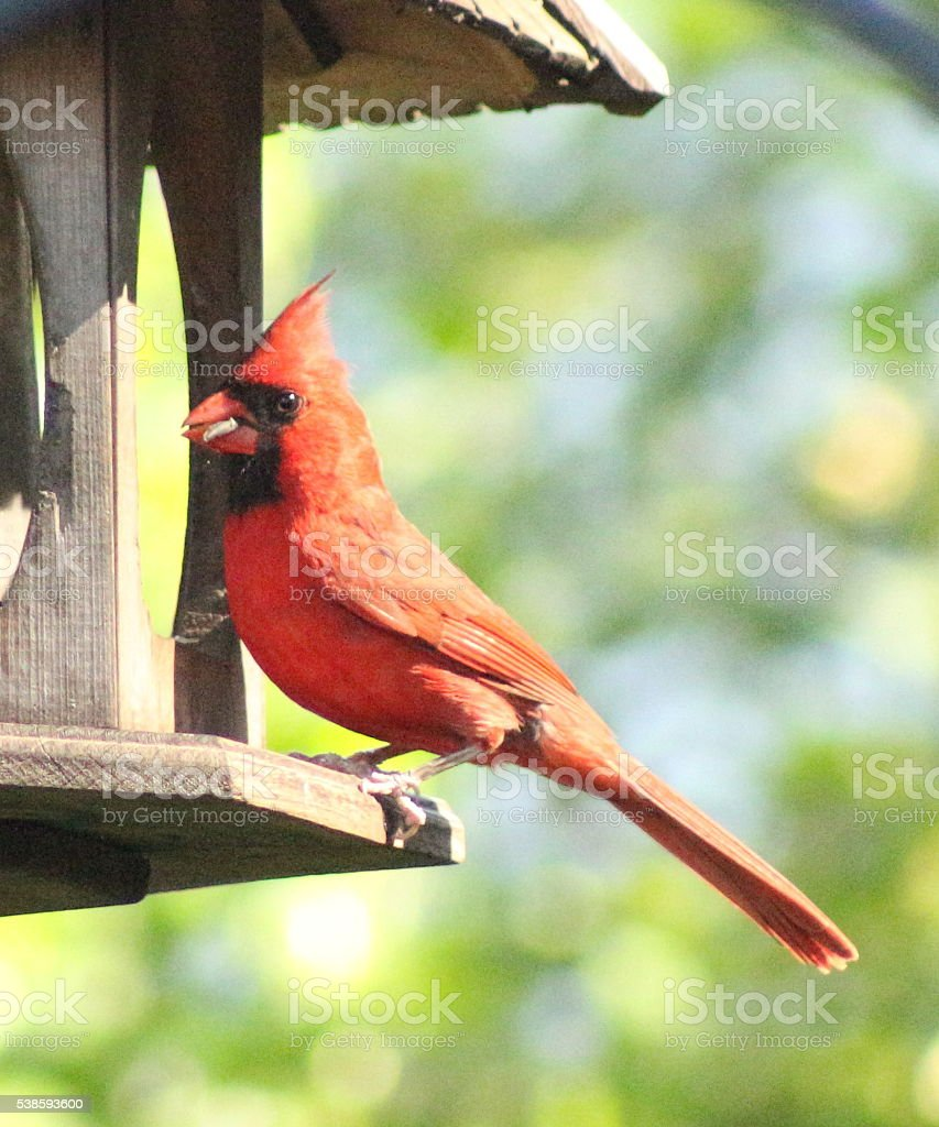 5344-Male Cardinal on Feeder stock photo