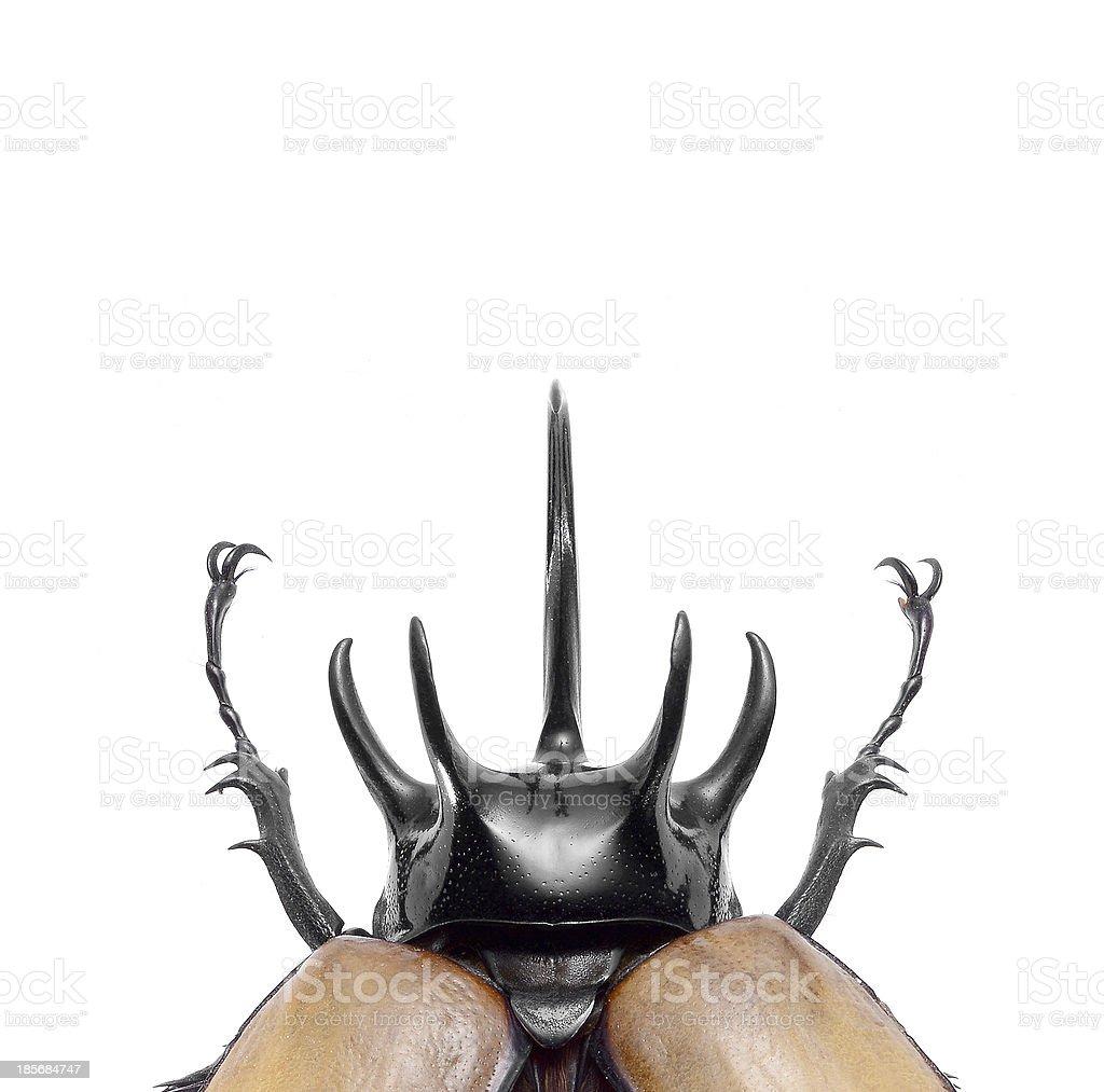 5-Horned Rhinoceros Beetle, Eupatorus gracilicornis isolated on white, close up stock photo