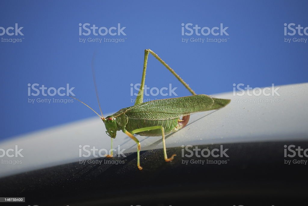 5-legged Grasshopper royalty-free stock photo