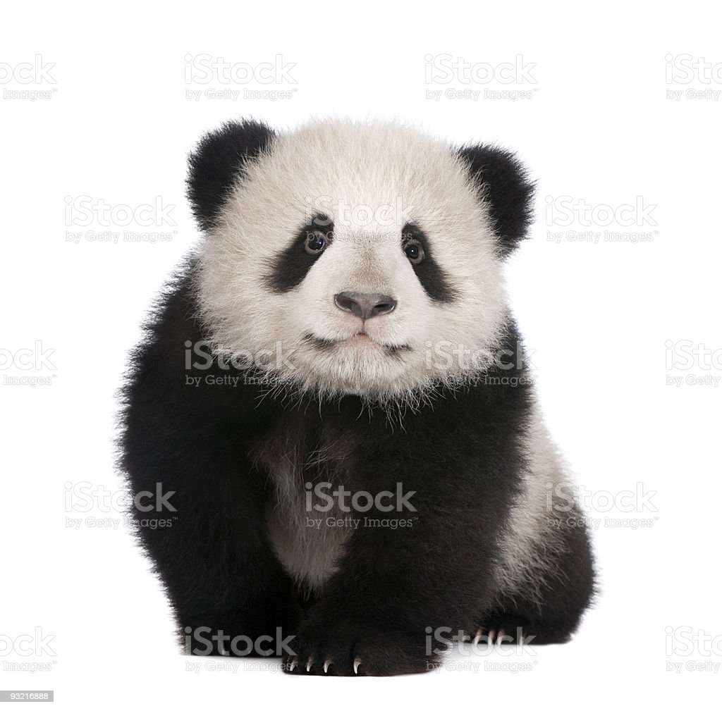 6-month-old Giant panda on a white background stock photo