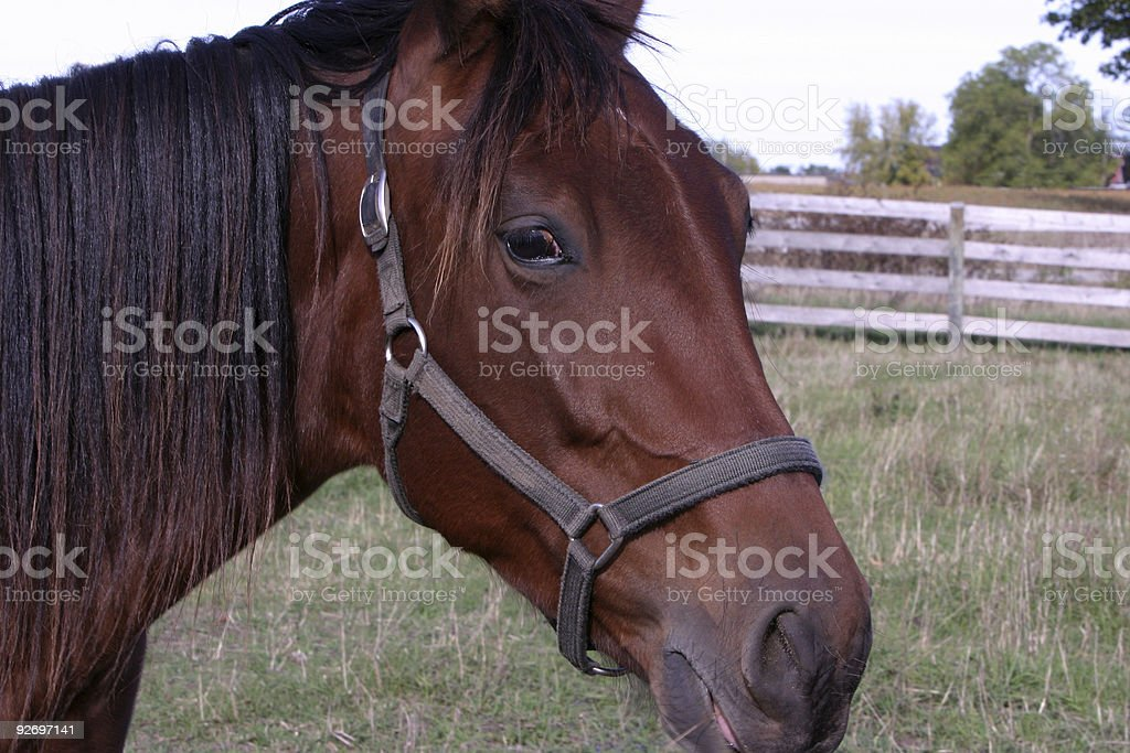 6yr old race horse stock photo