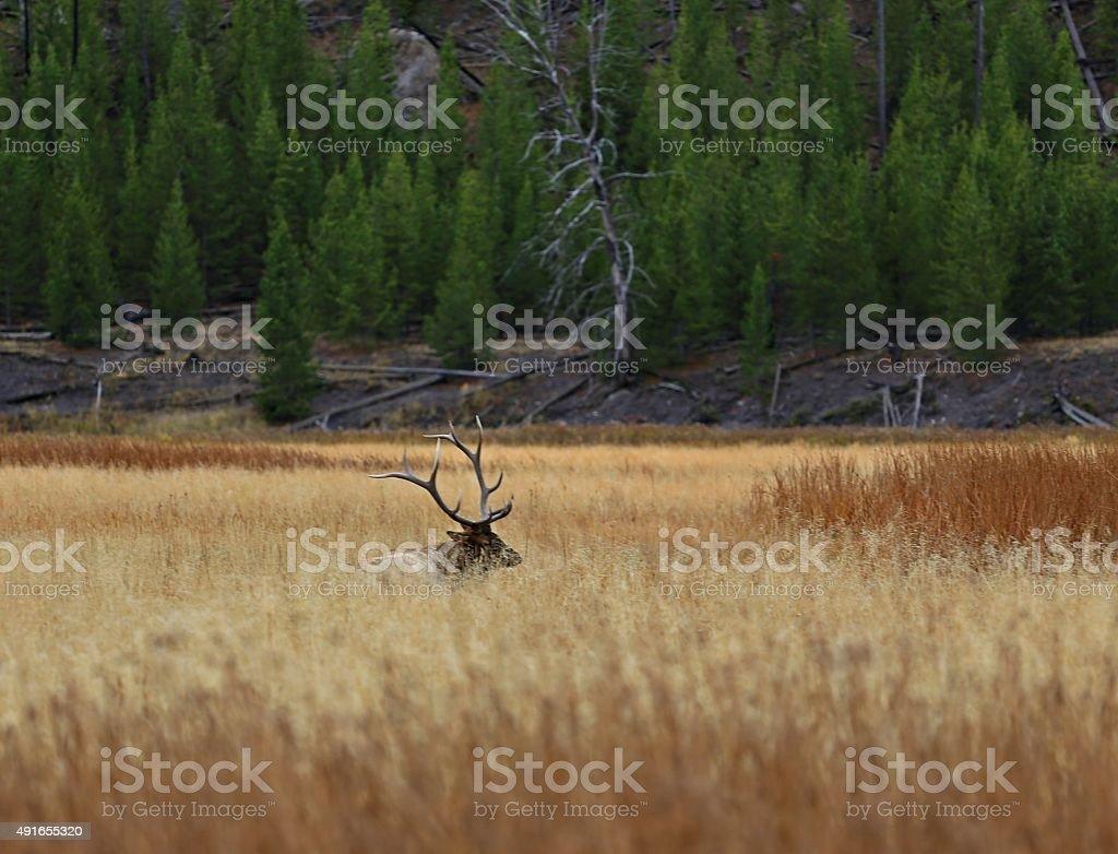 7x6 Bull Elk stock photo