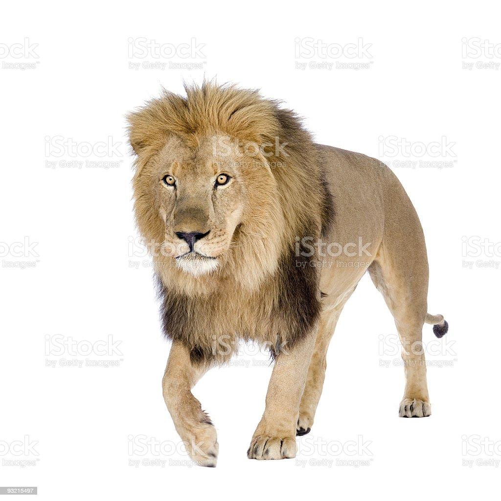 8-year old Panthera Lion isolated on white background royalty-free stock photo