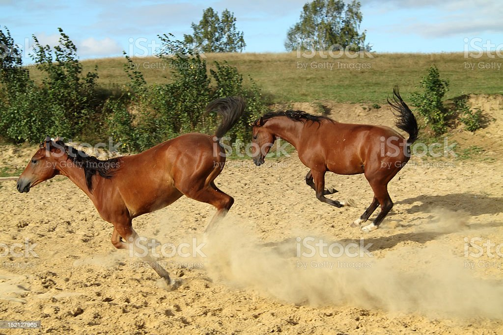 _Young horses_ royalty-free stock photo