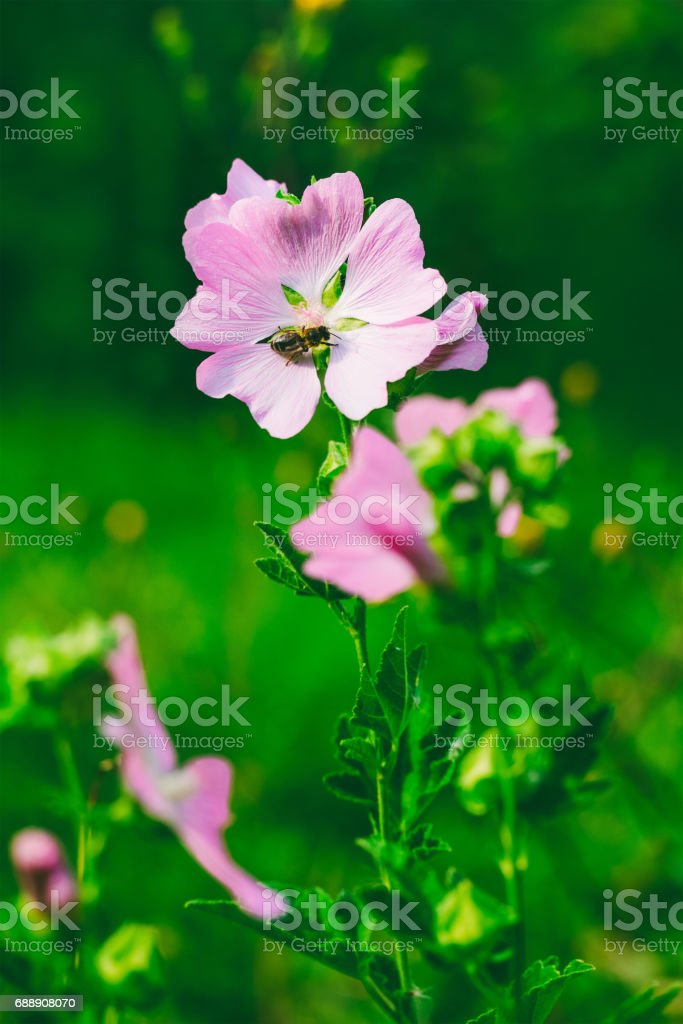 a bee collects nectar from the beautiful wild pink flowers (lavatera Thuringian) in the summer stock photo