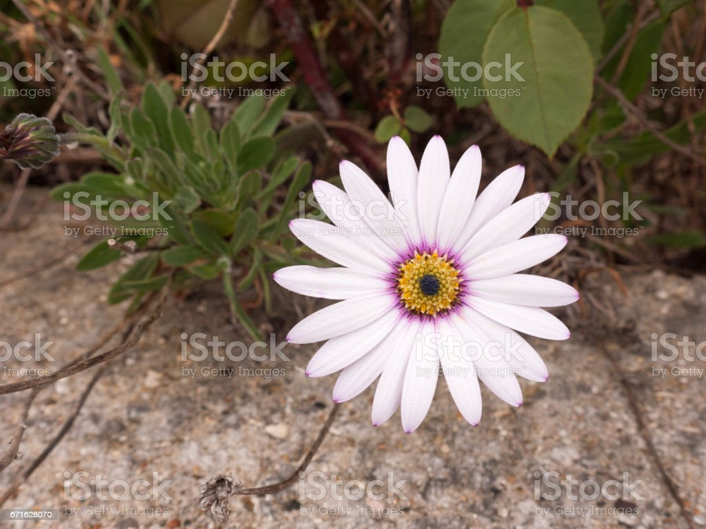 a close up shot of a white purple and orange flower its petals at full span and spread out in front of the camera looking clear and crisp and sharp with detail and in focus macro of garden stock photo