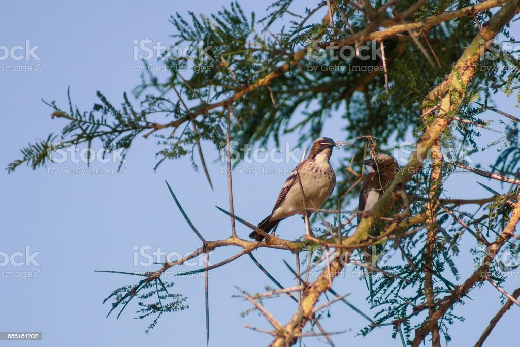 a couple of birds in the tree, preparing their nest stock photo