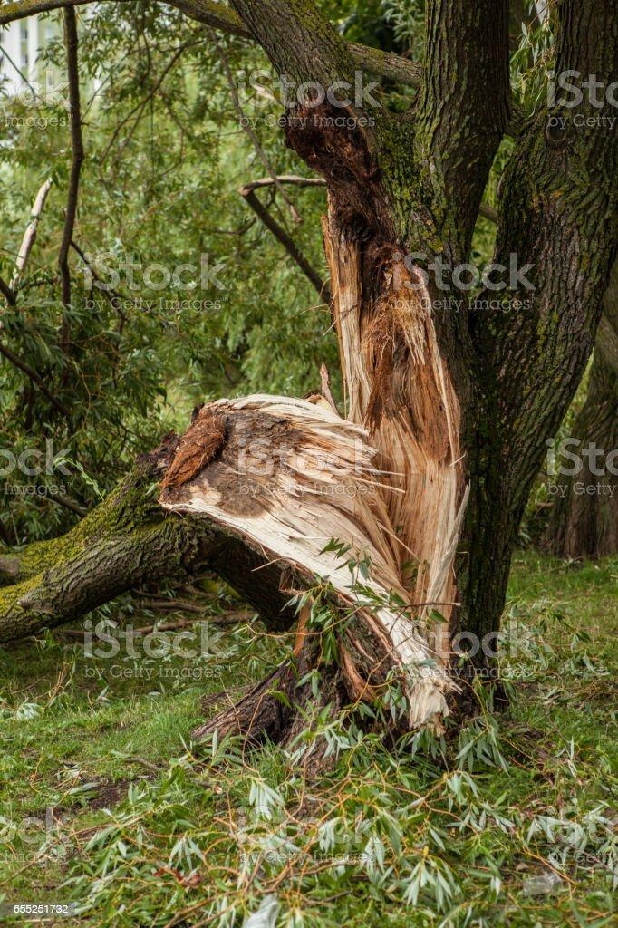 a fallen tree after hurricane