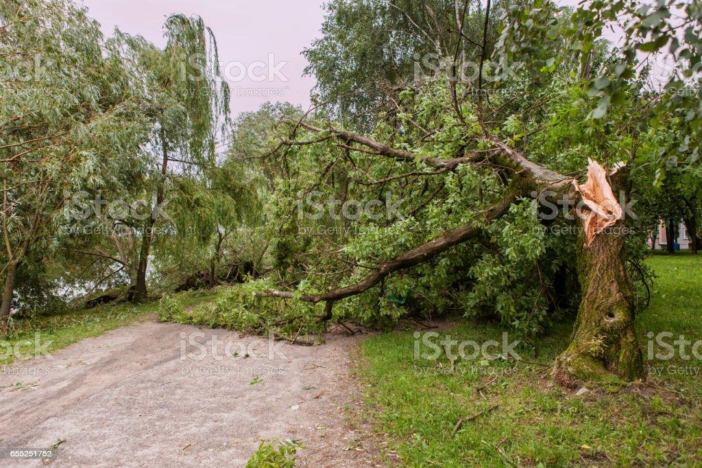 a fallen tree after hurricane stock photo