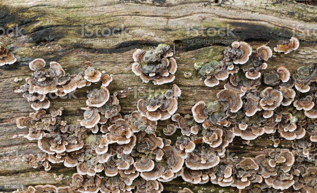 a group of colorful mushrooms - fungus colony on wooden surface (trametes versicolor / turkey tail) stock photo