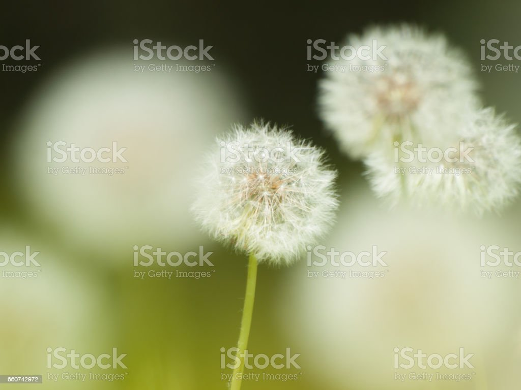 a group of dandelion puff タンポポの綿毛の群れ stock photo
