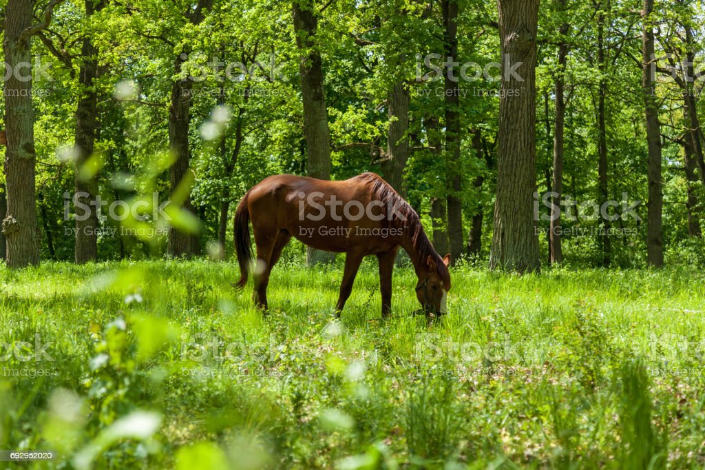 a horse eats a green grass on to the meadow stock photo