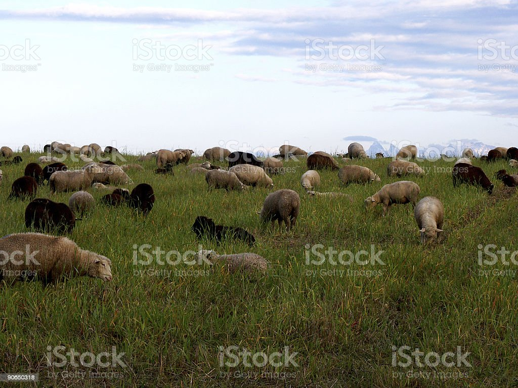 a lot of sheep royalty-free stock photo