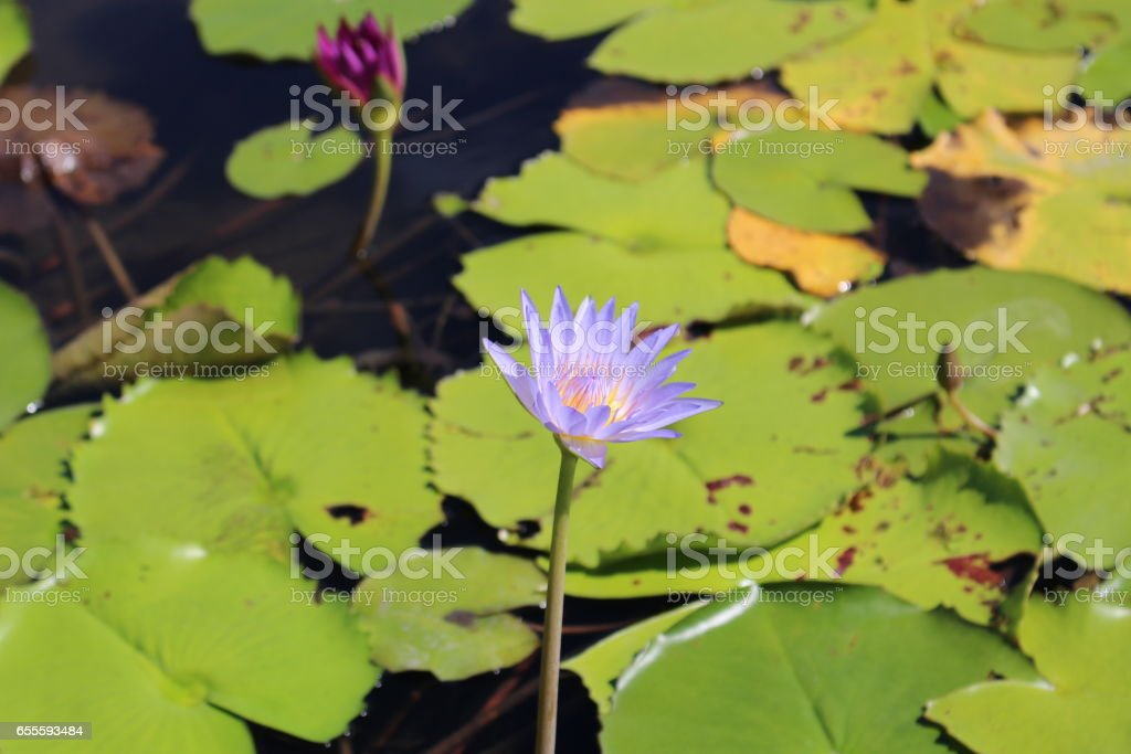 a lotus flower in the pond stock photo