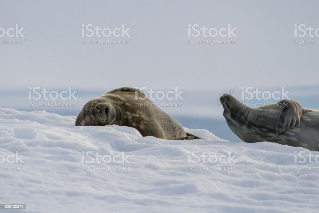 a pair of crabeater seals hang out on an ice shelf in antarctica stock photo