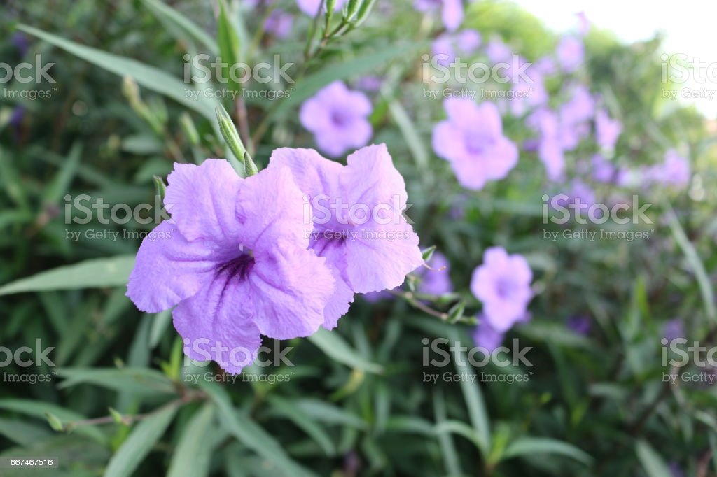 a purple waterkanon flower and leaves ,violet flower background, beautiful flora stock photo