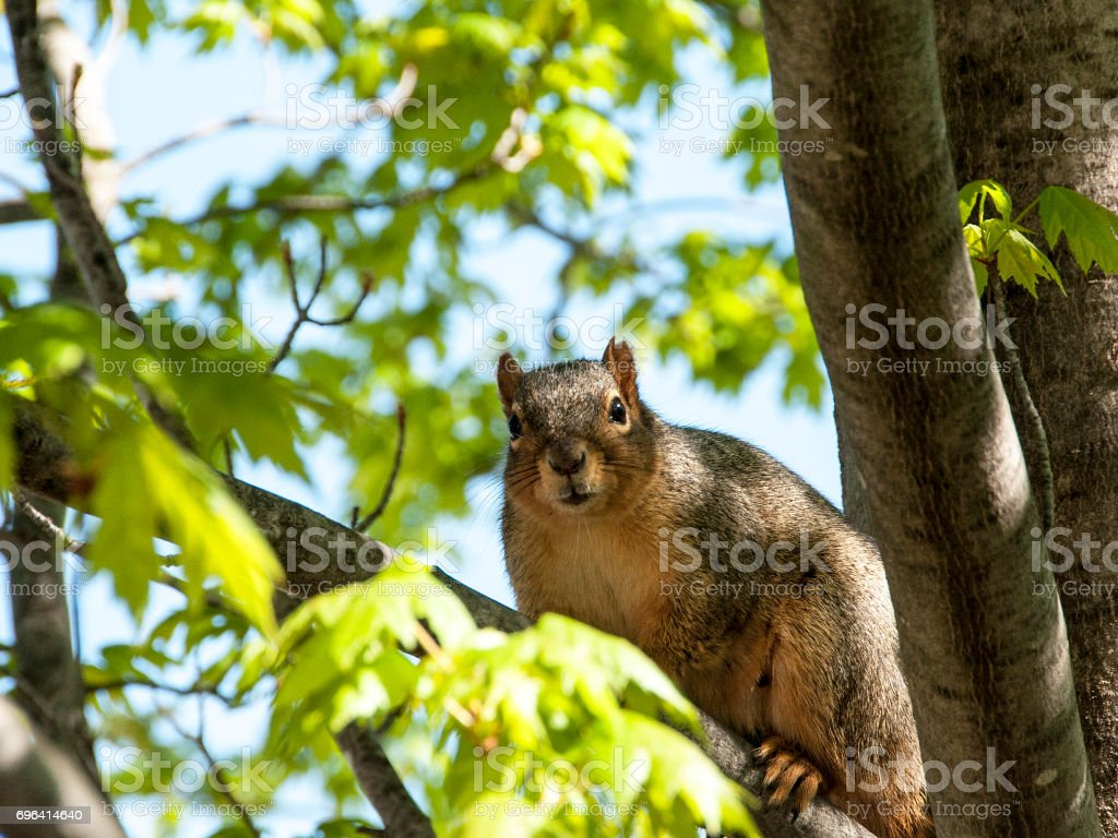 a squirrel watches from a tree limb stock photo