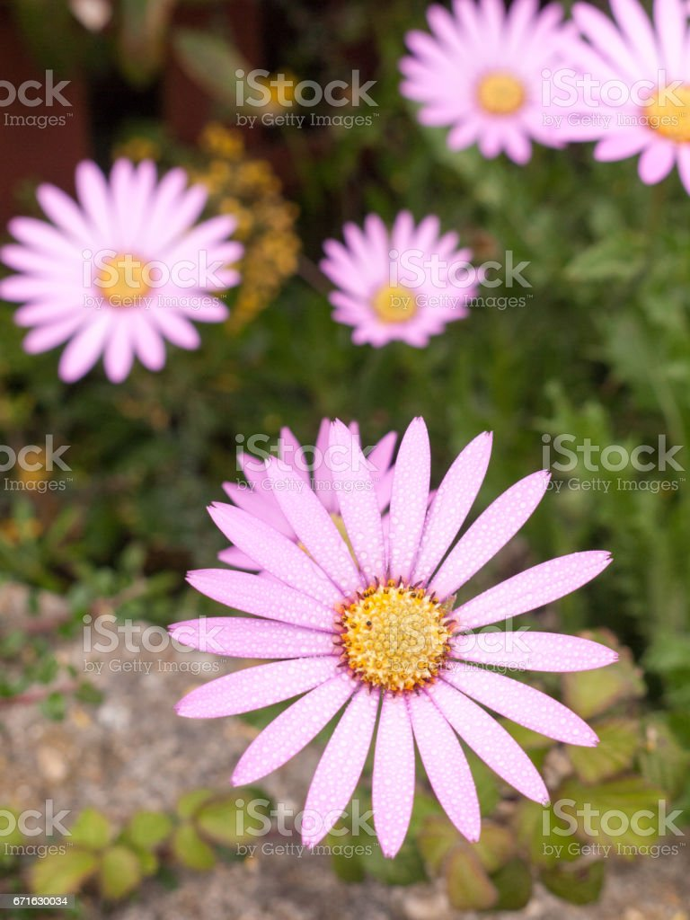 a stunning close up of a spring flower with big white petals sticking out and a yellow and purple centre with others in the background blurred stock photo