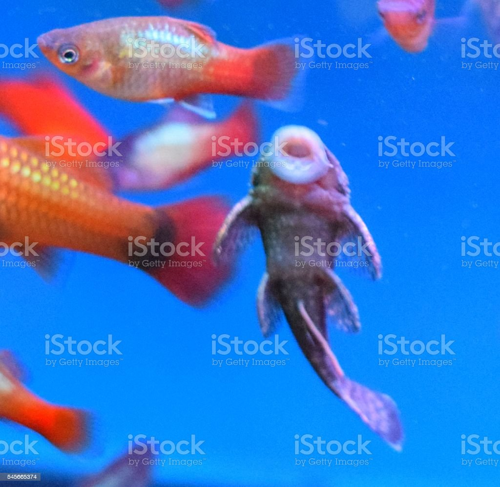 a sucking pleco tropical fish in tank stock photo