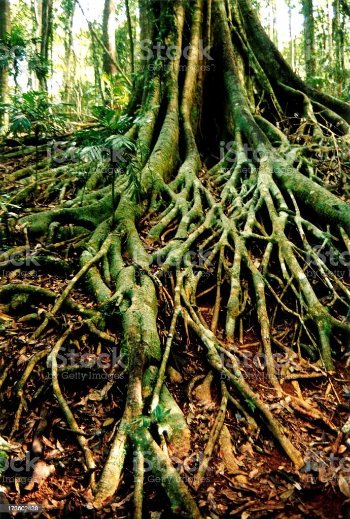 a tree with spreading roots stock photo