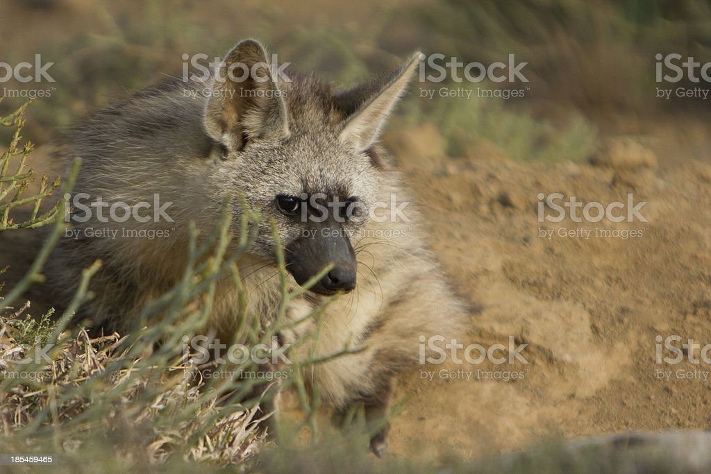 Aardwolf laying on the ground royalty-free stock photo
