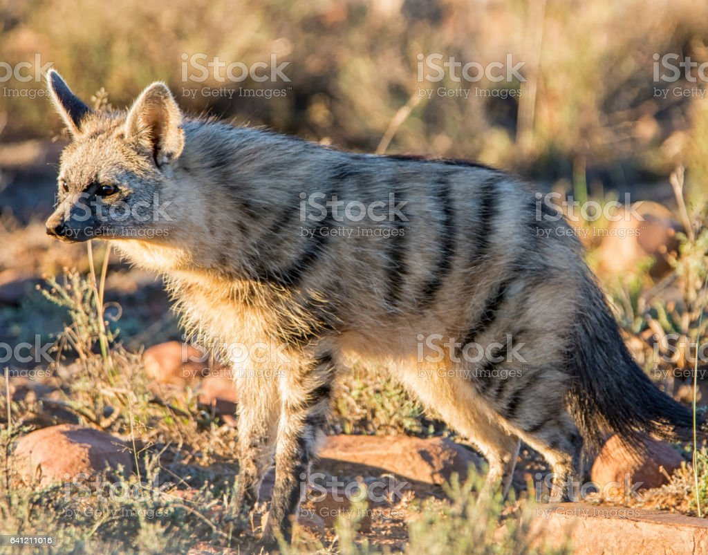 Aardwolf stock photo
