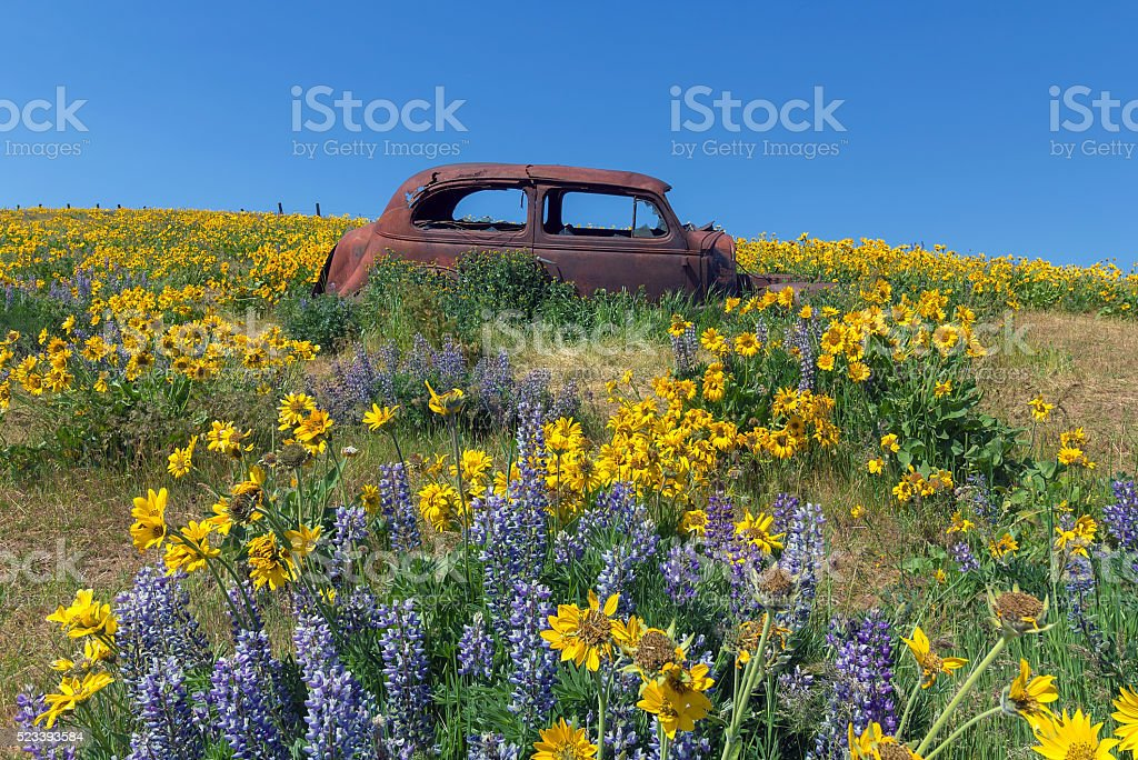Abandoned Old Car Among Wildflowers in Spring stock photo