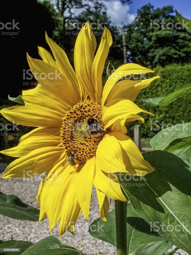 Abeille domestique, Tournesol, Pollen stock photo