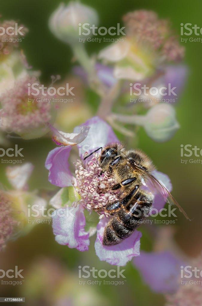 Abeja libando una flor stock photo