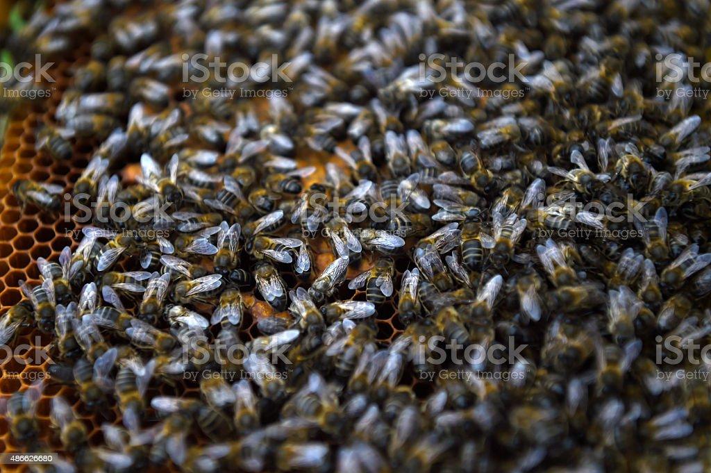 abelhas, mel , apicultura / bees, honey, beekeeping stock photo
