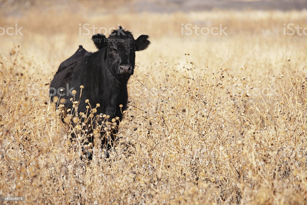 Aberdeen Angus Beef Cow Heifer royalty-free stock photo