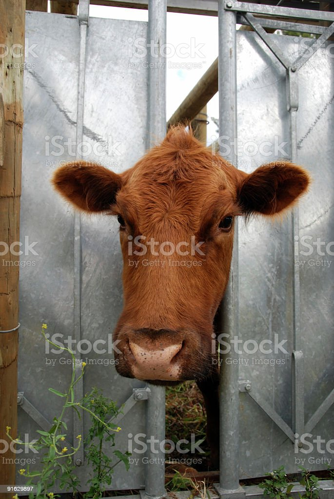 Aberdeen Angus Cow in a Clamp royalty-free stock photo