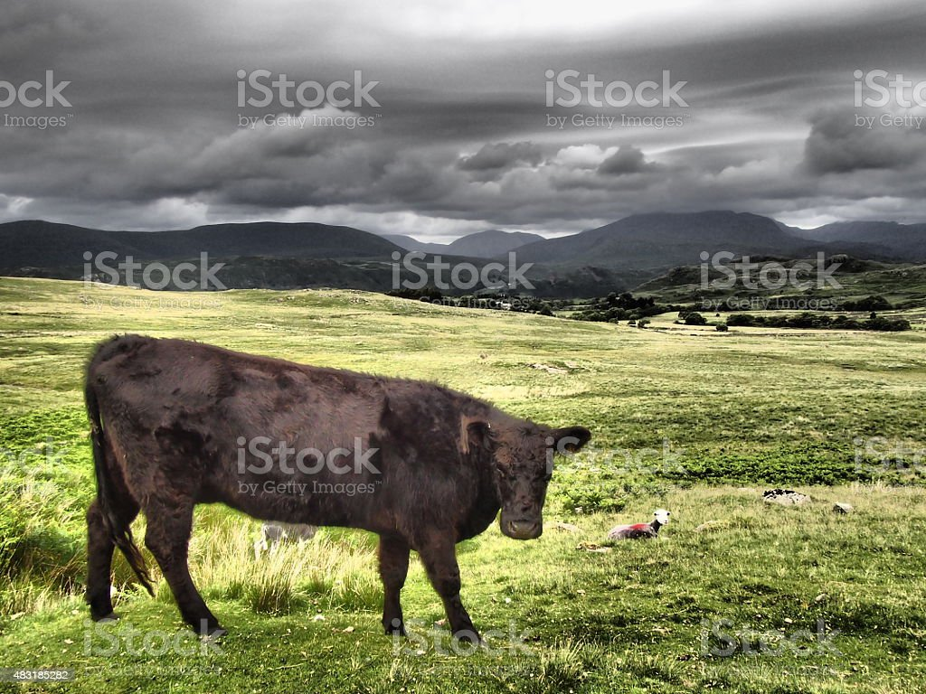 Aberdeen Angus On Birker Moor Cumbria stock photo