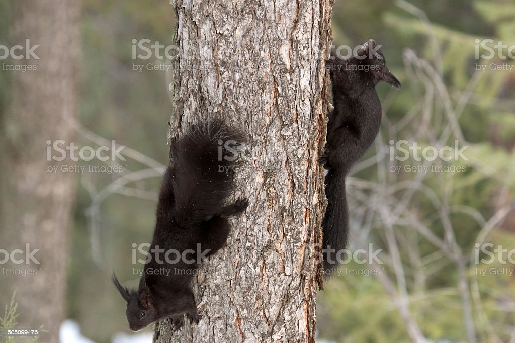 Abert's squirrels chase each other Mount Falcon Park Colorado stock photo