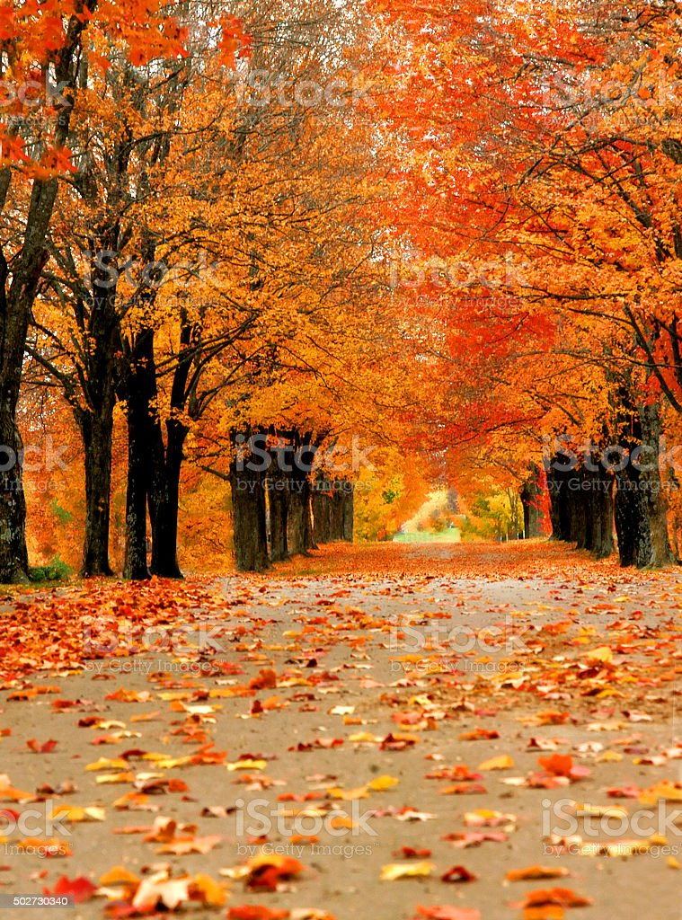 Avenue of maples glow with Autumn orange in Harrison, Arkansas....