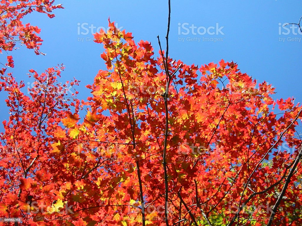 Ablaze - red, orange, golden, fiery leaves royalty-free stock photo