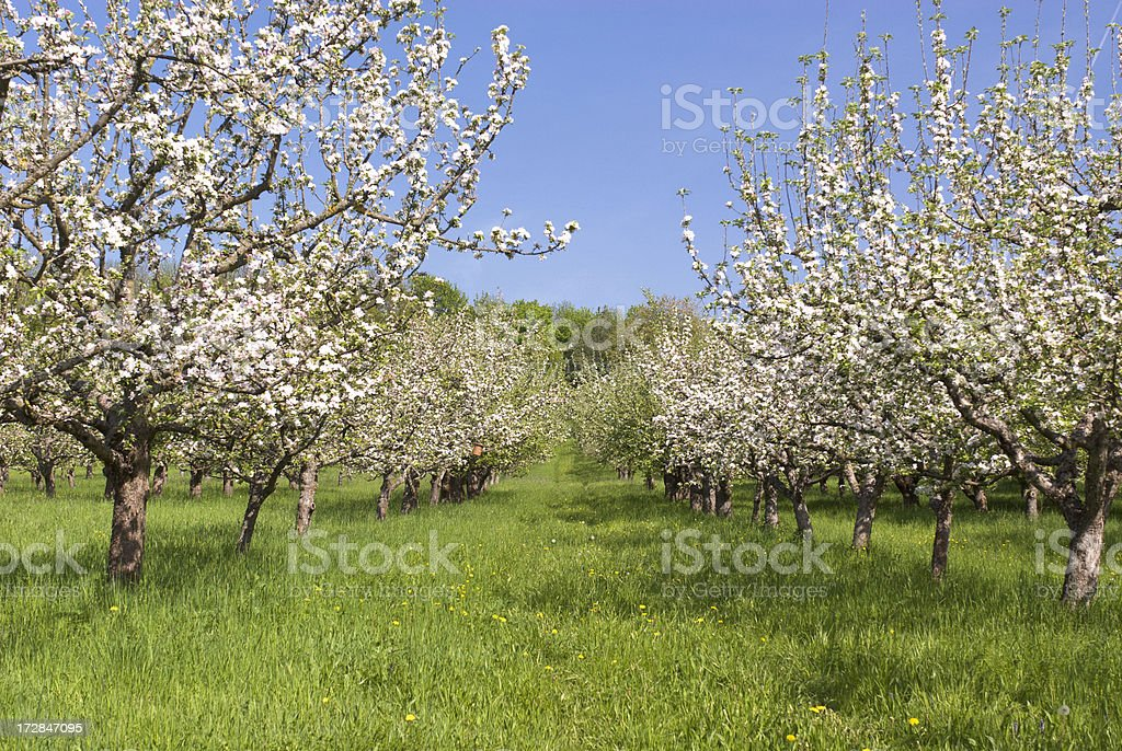 Abloom Apple Trees stock photo