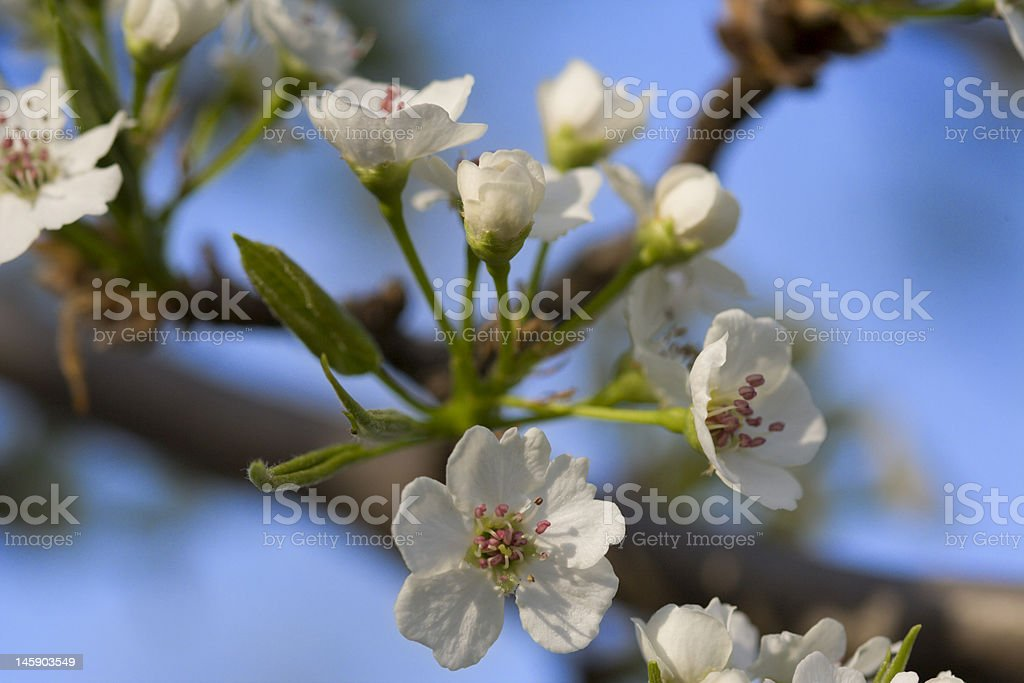 Abloom white tree royalty-free stock photo