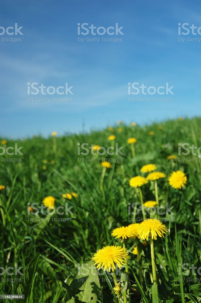 ablooming dandelion royalty-free stock photo