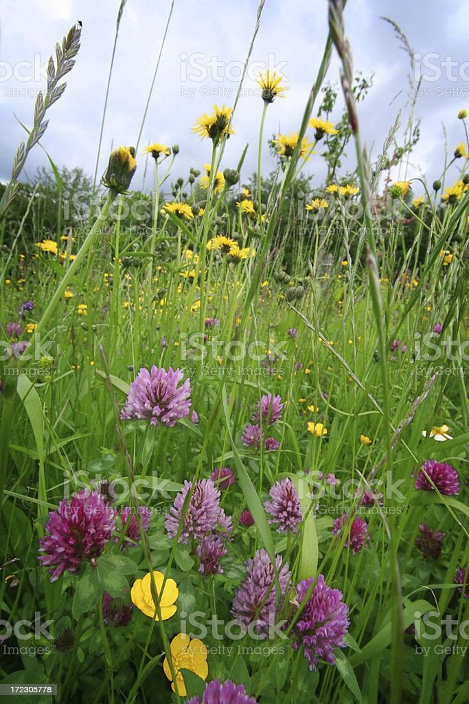 ablooming meadow royalty-free stock photo