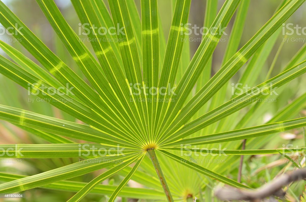 Abnormal light coloration on a palm frond stock photo