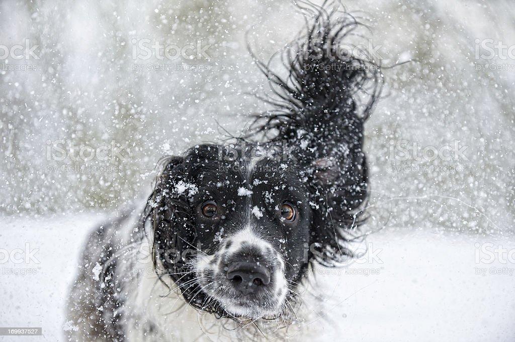 Abominable Snowdog stock photo