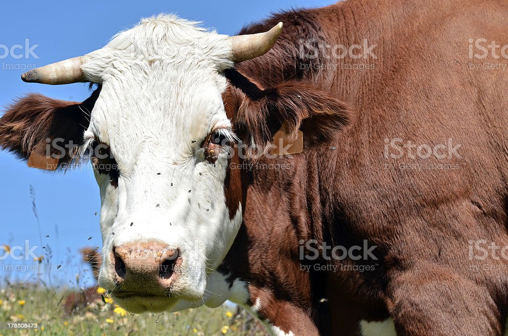 Abondance cow in the French Alps stock photo