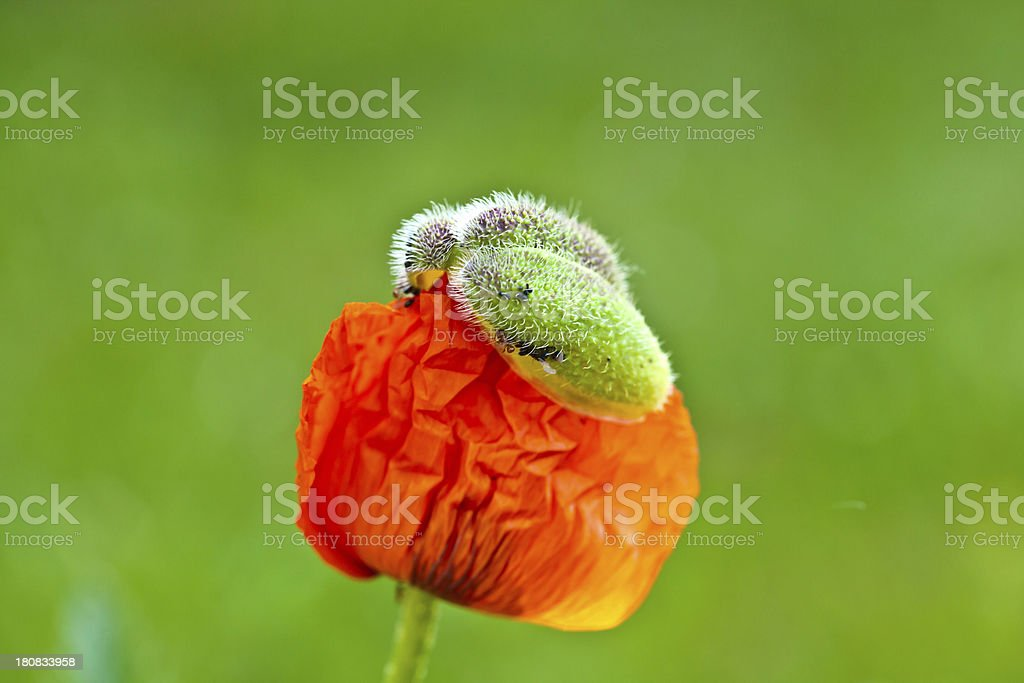 about to unfold royalty-free stock photo