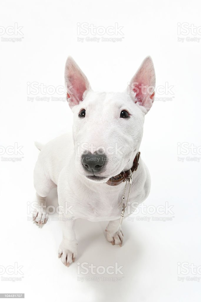 Above view of white bull terrier against a white background stock photo