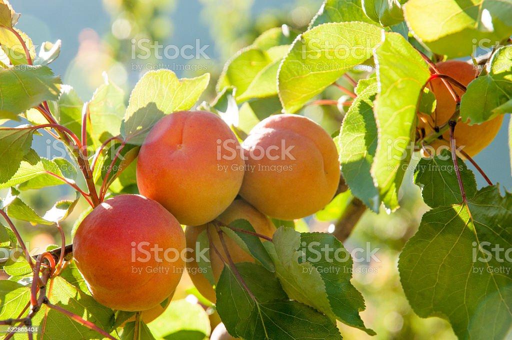 Abricot stock photo