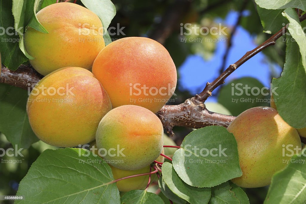 Abricots stock photo